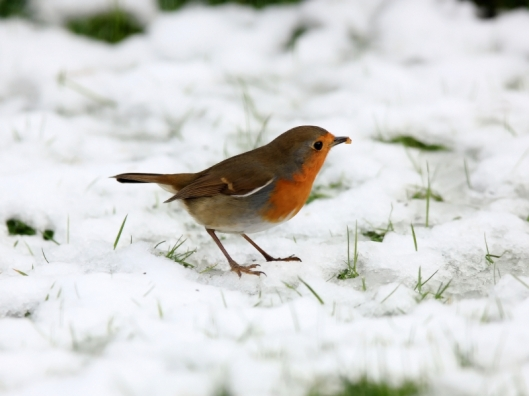 robin-in-the-snow