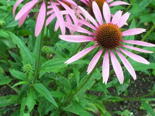 echinacea_closeup