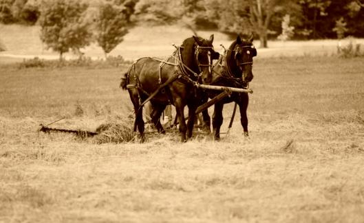 Sepia shire horses