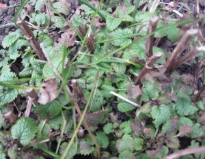 lemon balm shoots