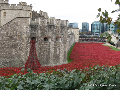 Spectacular_poppies_Tower_of_London_